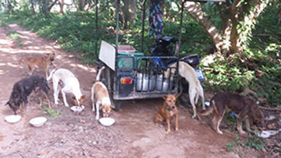 Fütterung Valley-Dogs Lamai