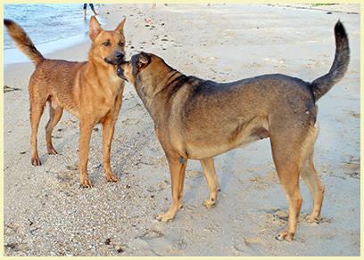 Dogs on Bang Por Beach